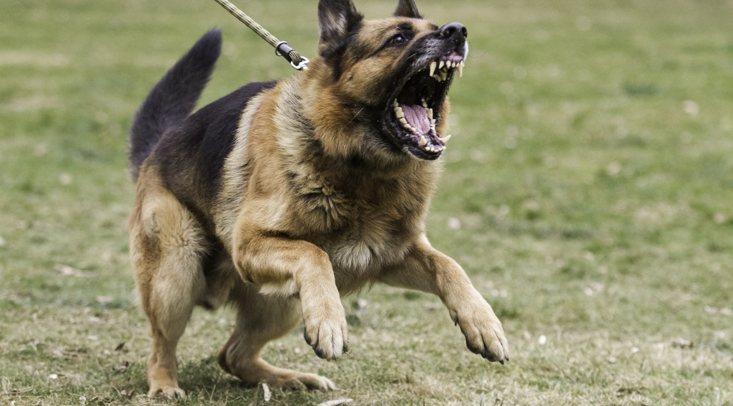 German Shepherd Aggression Control And Attack Training