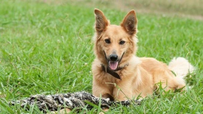 German Shepherd Golden Retriever Mix