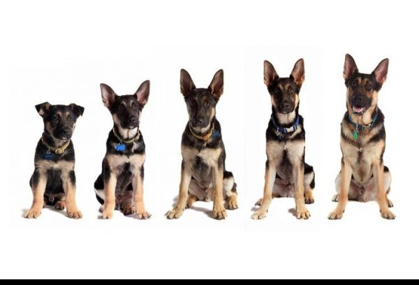 German Shepherd Growth Chart – Height And Weight