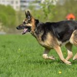 How Fast Can A German Shepherd Run