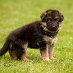 How to Care for Newborn German Shepherd Puppies