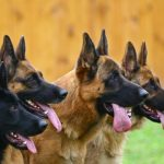 The German Shepherd's Bite Force