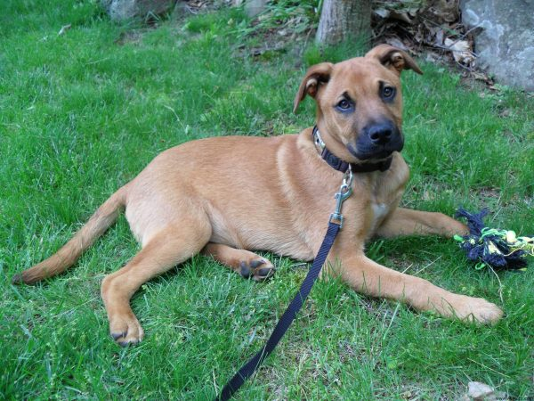 German Shepherd Mastiff Mix : All About Mastiff Shepherd