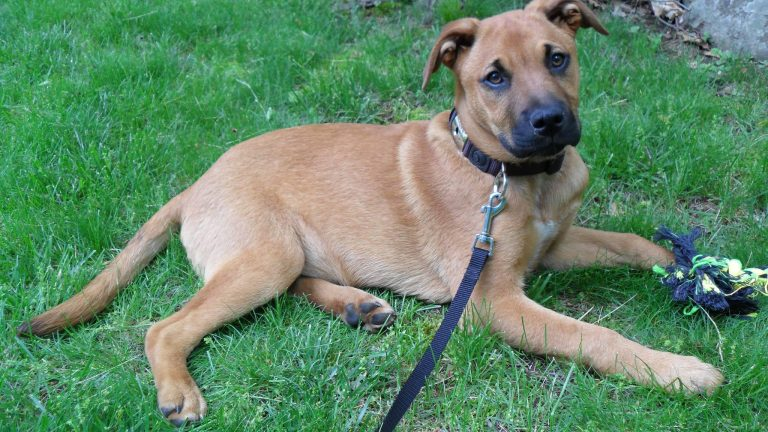 German Shepherd Mastiff Mix