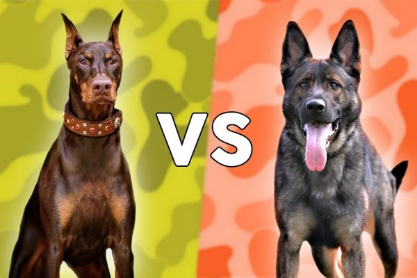 Doberman vs. German Shepherd: Which Dog is Better?