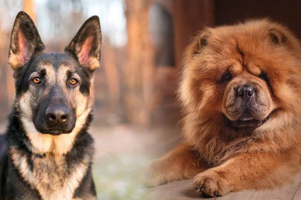 German Shepherd Chow Mix – Chow Shepherd Dog Breed