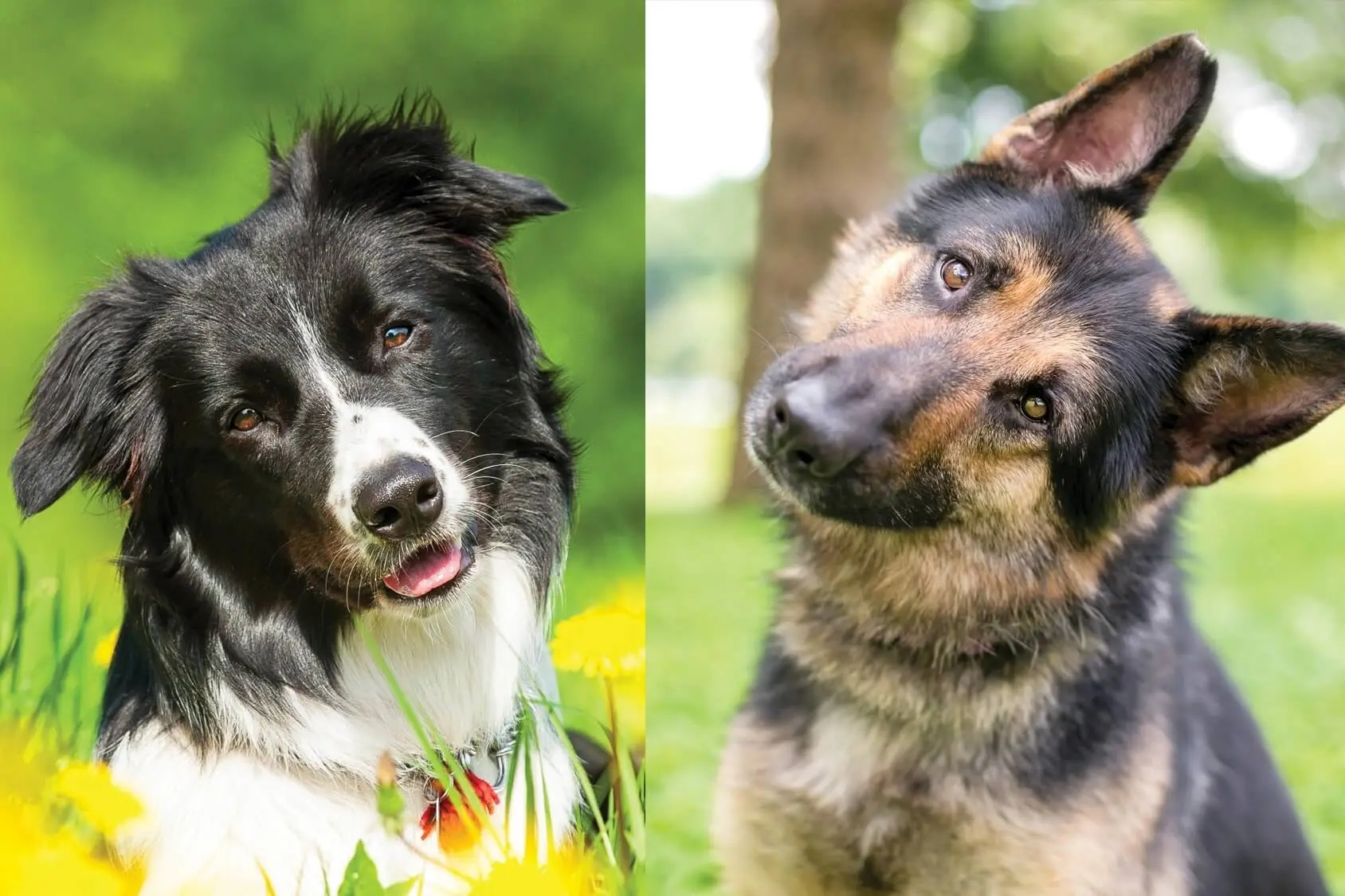 German Shepherd and Border Collie Mix - Photo by perfectdogbreeds
