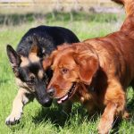Golden Retriever Vs. German Shepherd - Photo By loveyourdog
