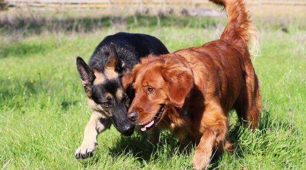 Golden Retriever Vs. German Shepherd – Which Dog Breed Is Better?