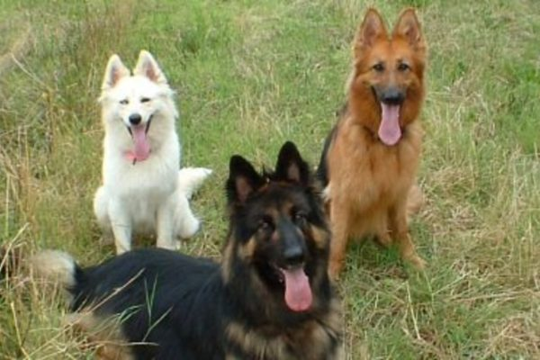 Different Colors Of German Shepherds