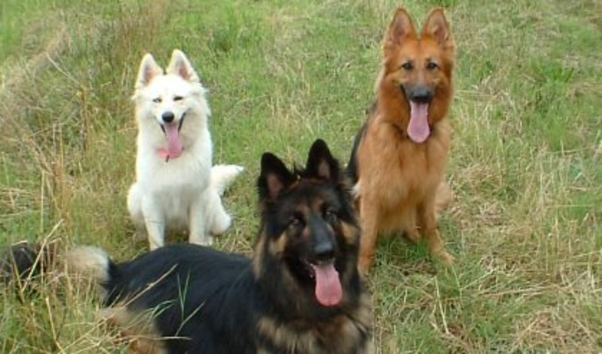Different Colors Of German Shepherds - Image by pethelpful