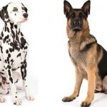 German Shepherd Dalmatian Mix - image By anythinggermanshepherd.com