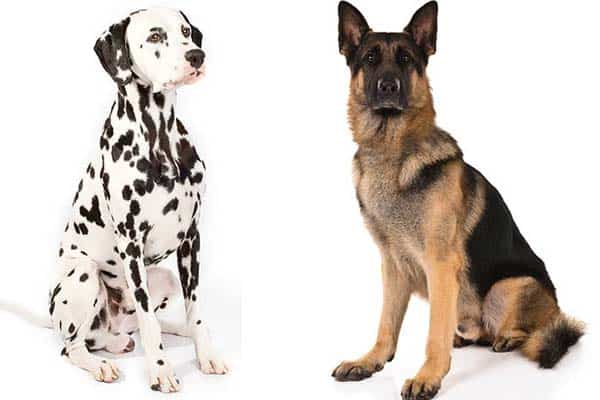 German Shepherd Dalmatian Mix: Breed Comparison
