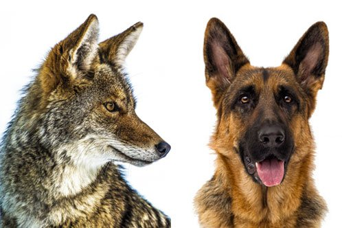 German Shepherd vs. Coyote