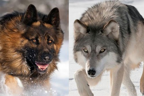 German Shepherd vs. Wolf