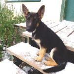 Purebred German Shepherds - Image By nextechclassifieds