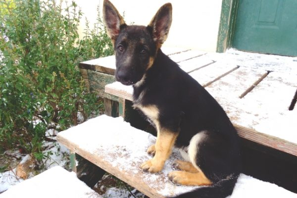 Purebred German Shepherds