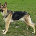 Short Haired German Shepherds - Image by glamorousdogs