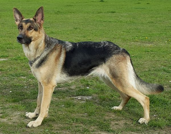 Short Haired German Shepherds