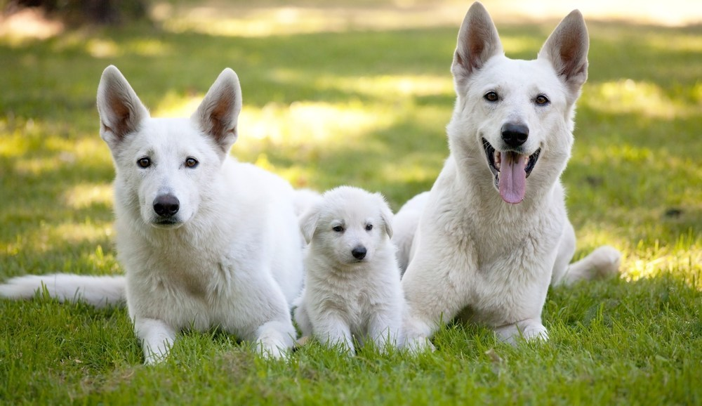 White German Shepherds - Image By puppytoob