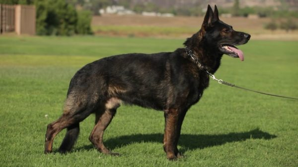 Working Lines German Shepherd Vs. Show Lines – Which One Is Better For You?