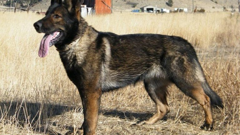 DDR German Shepherds - Image By shepped