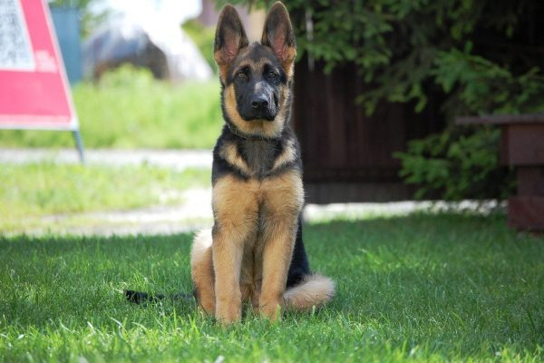 German Shepherd Puppy Teething: Stages, Age, And Tips