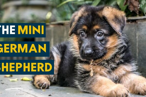 Miniature German Shepherds