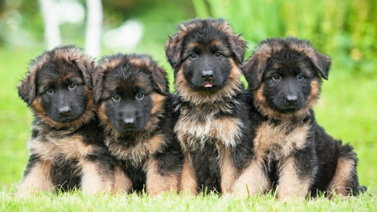 GSD Puppies For Adoption - Image By germanshepherddoghq