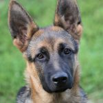 German Shepherd Ear Infection - Image By lovemygermanshepherd