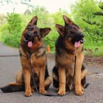German Shepherd Head Tilt 2021 - Image by Quora