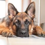 German Shepherd Separation Anxiety - Image By germanshepherddoghq