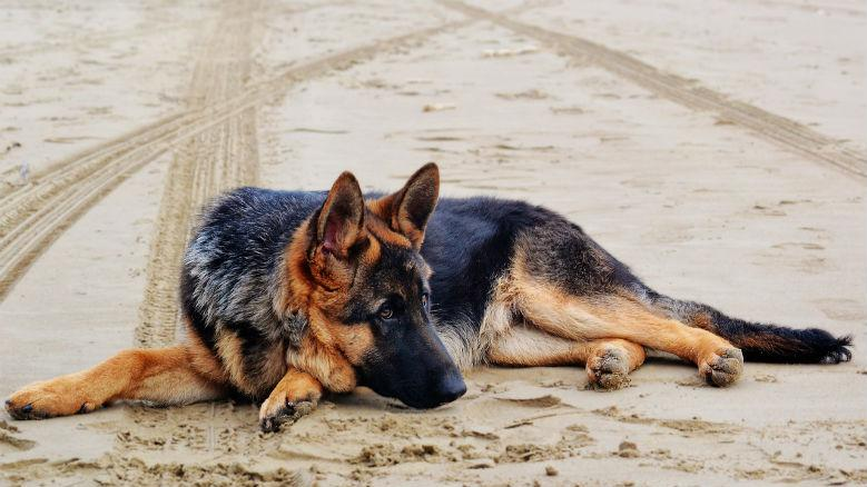 German Shepherd separation anxiety 2020 - Image By furbo