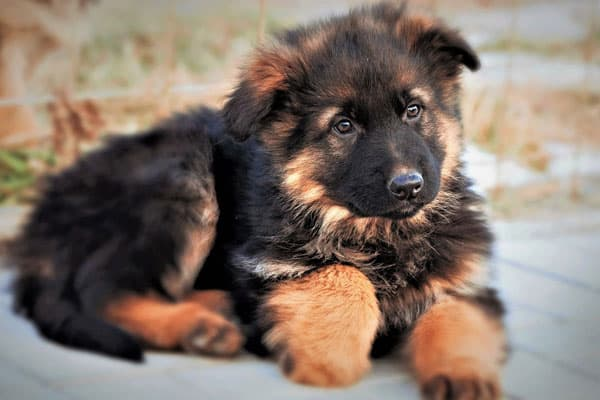 How to Stop a German Shepherd Puppy from Biting 2020 - Image By anythinggermanshepherd