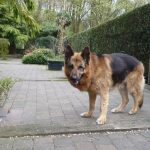 treating German Shepherd Health Issues - Image By pethelpful