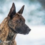 Brindle Colored German Shepherds - Image By loveyourdog