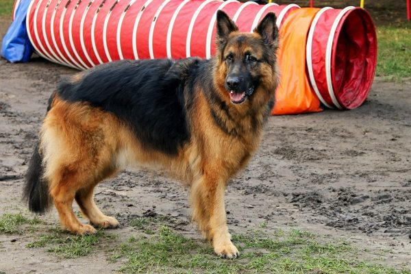 The Noble Life Of German Shepherd Service Dogs