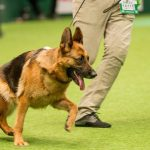 German Shepherd Sloping Back - Image By telegraph