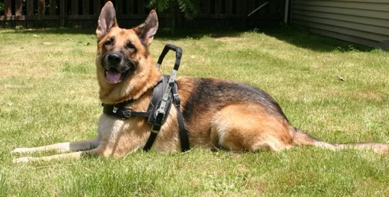 How to Train German Shepherd Service Dogs - Image By