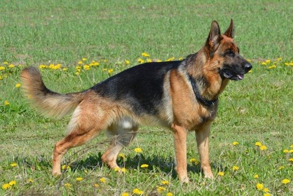 The Evolution Of The Best Type Of German Shepherd