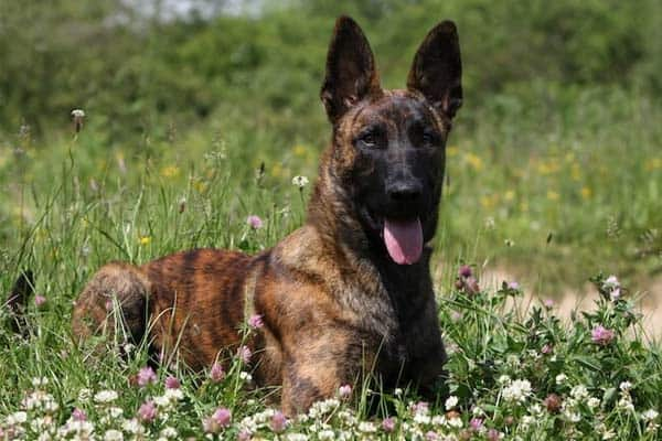 Where Does A Brindle Coat Color Pattern GSD Come From