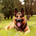 Degenerative Myelopathy In German Shepherd Dogs - Image By pets4homes