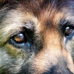 German Shepherd Eye Problems - Image By allergicpet