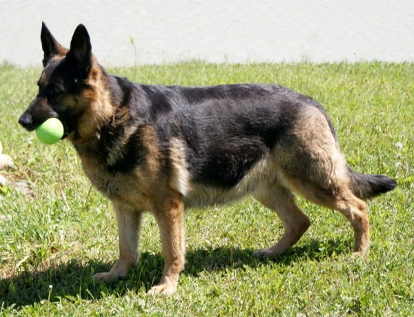 German Shepherd Gestation Period