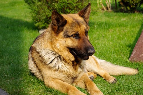 How To Care For A GSD Dog In Gestation Period