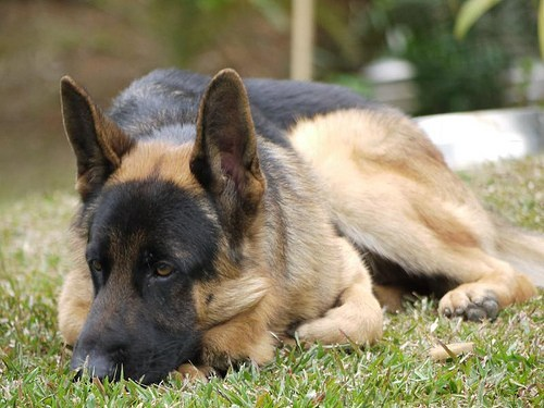 How To Treat German Shepherd Diarrhea