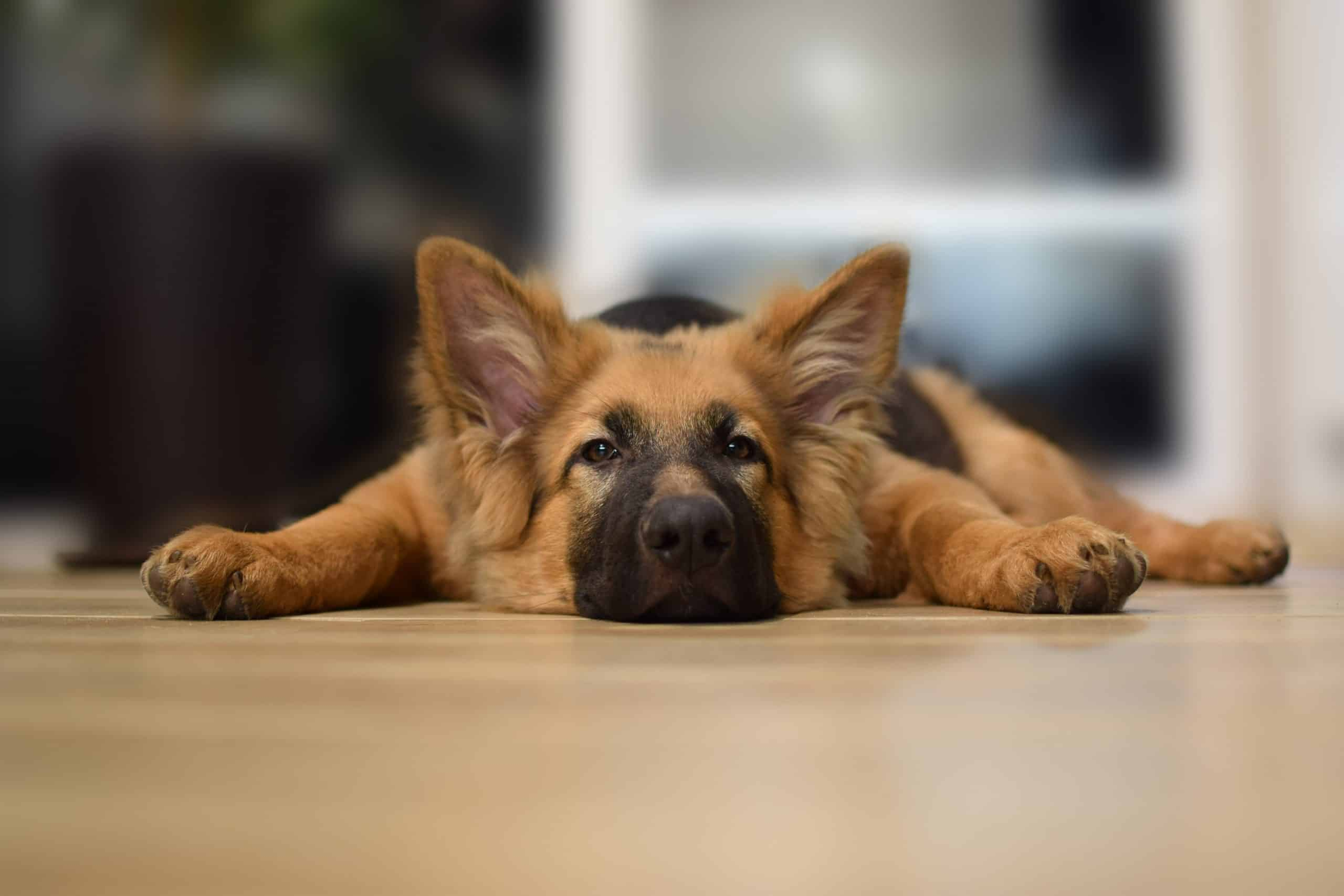 When Should You Spay Or Neuter A German Shepherd - Image By rovepets - Image By rovepets