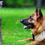 Are German Shepherds Good With Cats 2021