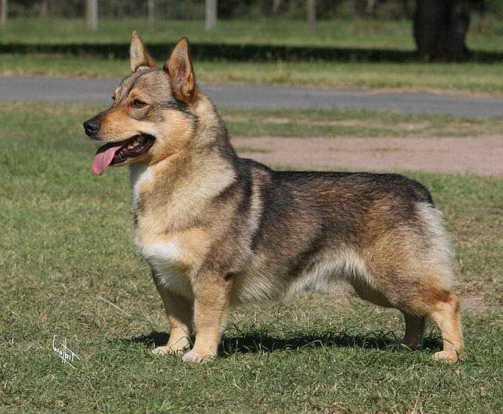 Corgi German Shepherd Mix appearace - Image By petsidi