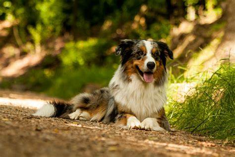 Differences Between Australian Shepherd And Border Collie - Imge By perfectdogbreeds